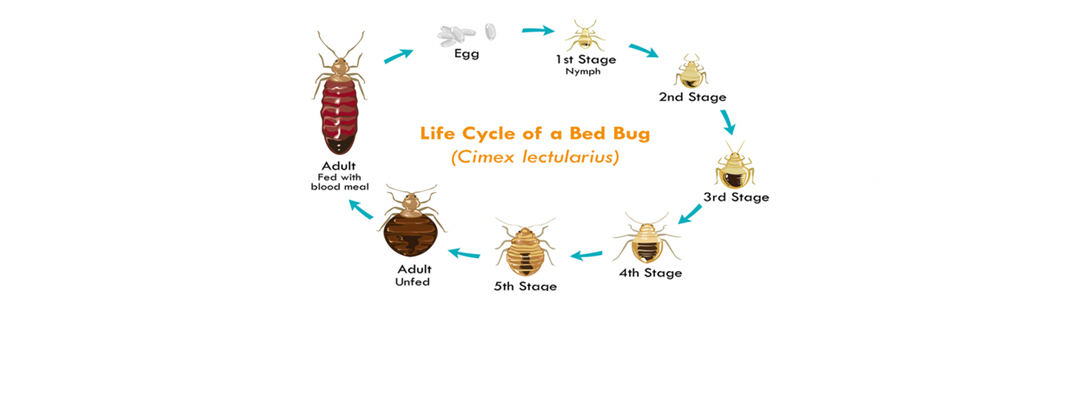 Bed Bugs Control Services Saskatoon